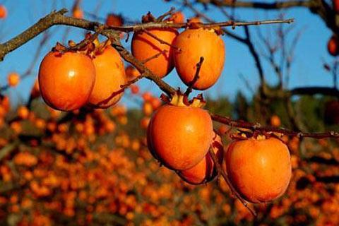 Sadnice japanske jabuke